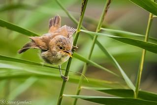 Juvenile Reed Warbler waiting for food.