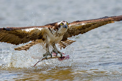 Dinner is served... (Earl Reinink) Tags: bird animal raptor osprey bass fish fishing water nikon earl reinink earlreinink niagara ontario hhdaudzdia dine dinner food