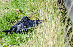 That's it. Under the fence (I was blind now I see!) Tags: jackdaw black grey feather fence grass pointing point eye animal