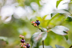 Wild Blueberries of Graveyard Fields (joehoeper) Tags: avl westernnorthcarolina nationalforest appalachianmountains pisgahnationalforest brevard northcarolina 828 naturephotography blueridgemountains blueridgeparkway