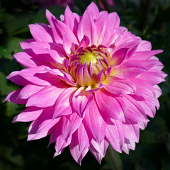 Pink Dahlia (Colorado Sands) Tags: flower pink dahlia sandraleidholdt colorado littleton