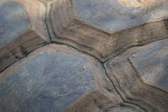 Turtle Shell (carlossahliehm) Tags: tortoise shell nature coldblood reptile sulcata torto horsefield