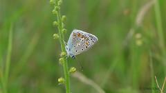 weiblicher Hauhechel-Bläuling (Polyommatus icarus) (Oerliuschi) Tags: schmetterling tagfalter bläuling dragonfly nsgbiesterberg lemgo natur postfocus stacking panasonicgh5 olympusm60 hauhechelbläuling polyommatusicarus