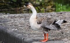 Oie HSS (YᗩSᗰIᘉᗴ HᗴᘉS +6 500 000 thx❀) Tags: sliderssunday 7dwf oie faune fauna nature bird hensyasmine hss
