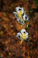 DSC_0204 (cintia scola) Tags: cíntiascola nikond300 summer2017 wildflowers