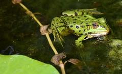 (Gerlinde Hofmann) Tags: germany bavaria franconia town erlangen botanicalgarden frog waterplant pond leaf green