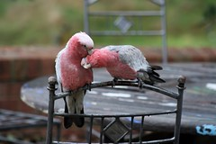 Maui & Hei Hei having a cuddle (alice_mussared) Tags: galah bird australia australianbird nature wildlife rescue cute adorable