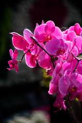And more pink ones. (Moxibustion) Tags: birds botanicalgardens flowers sydneybotanicalgardens wildlife sydney newsouthwales australia au