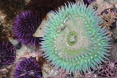 Anemone_Neighbors_sm (Blackdamsel Photo) Tags: anemone urchin macrodreams