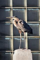 Heron in the window (marensr) Tags: bird waterfowl great blue heron brick building nature urban wildlife ronan park chicago ardea herodias