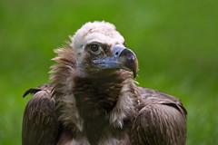 Mönchsgeier (Mel.Rick) Tags: burgerszoo tiere natur vögel greifvögel mönchsgeier geier aegypiusmonachus