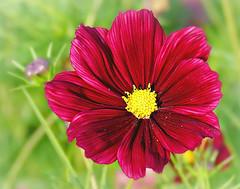 Cosmos 'Rubenza' (Through Serena's Lens) Tags: colorful bright flower plant outdoor garden dof bokeh rubyred cosmosrubenza closeup 7dwf