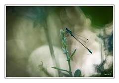 Le profil de la demoiselle (iandub74) Tags: marais etang lake lac nikon bokeh closeup macro proxi nature dragonflies dragonfly odonate demoiselle libellule iandub74 iandub