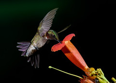 Ruby-throat Hummingbird (snooker2009) Tags: biiiiird hummer humming hummingbird ruby throat summer spring flower trumpet vine bird