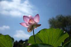 Lotus (Ichigo Miyama) Tags: 名前:ハス学名:nelumbo nucifera分類:ハス科 nelumbonaceae ハス属 nelumbo古河公方公園ハス nelumbonucifera lotus flower plant 古河公方公園