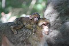 Macaque de Barbarie et bébé (Passion Animaux & Photos) Tags: magot macaque barbarie bebe barbarymacaque cub montagne singes france