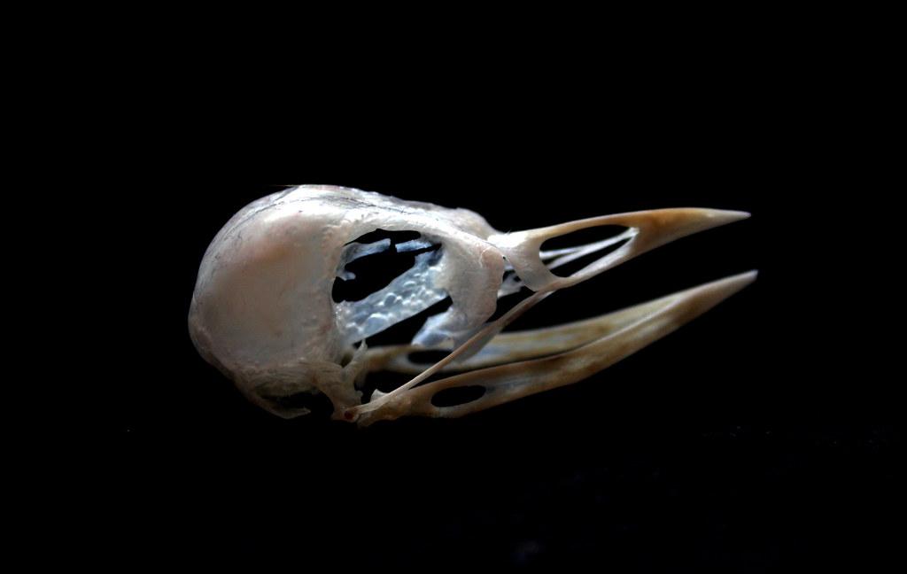 Bird anatomy  Wikipedia