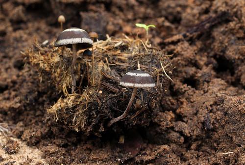 Elephant dung mushroom