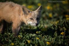 Young Fox (namra38) Tags: armanwerthphotography redfox kit washington washingtonstate wild wildlife