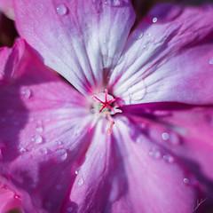 Morning Flower (Carlos M.C.) Tags: garden morning flower water macro art dawn dusk