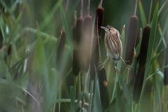 R17_0864 (ronald groenendijk) Tags: cronaldgroenendijk 2017 ixobrychusminutus rgflickrrg animal bird birds groenendijk holland littlebittern nature natuur natuurfotografie netherlands outdoor ronaldgroenendijk vogel vogels wildlife woudaap woudaapje wouwaap