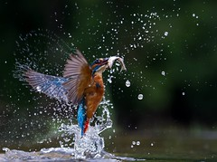Diving Kingfisher (Nigey2) Tags: bird hunt fish