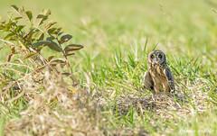 mocho-dos-banhados (Asio flammeus) - Short-eared Owl (Nathalia de Melo) Tags: shortearedowl asioflammeus mochodosbanhados birdwatching bird brazil birdsofbrazil birdlovers birdsphotography pássarosdobrasil nature owl owlsofbrazil owllovers coruja canoneos 1dmarkiii 300mmf4lisusm