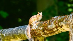 Happy Fence Friday (YᗩSᗰIᘉᗴ HᗴᘉS +6 500 000 thx❀) Tags: squirrel fence fences happyfencefriday hff nature écureuil green hensyasmine