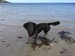 Wet Dog enjoying the beach [explore] (Christine Schmitt) Tags: 52in2017 sea beach dog fun enjoying seaweed douglas isleofman wet explore explored