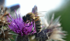 honey bee on Marsh Thistle - Cirsium palustre (conall..) Tags: marsh thistle marshthistle cirsium palustre cirsiumpalustre colour pollen load white palecream macro bee honeybee pollenload
