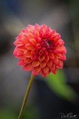 Dahlia - Colony Farm Garden (1 of 1) (DavidGuscottPhotography) Tags: dahlia red flower flores opening petals
