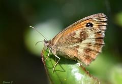 In the Spotlight (Eleanor (No multiple invites please)) Tags: insect macro butterfly gatekeeperbutterfly garden stanmore uk nikond7200 105mmmacrolens july2017
