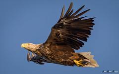 Havørn--4 (jarud) Tags: 2017 eagle fugl havørn naturopplevelser norge norway smøla whitetailed ørn