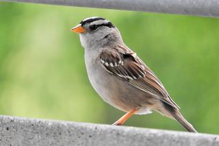 White-crowned Sparrow 6-5-17 Esther Short City Park, Vancouver, Washington