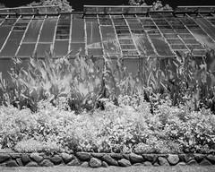 L1006366 (agianelo) Tags: blackandwhite greenhouse infrared