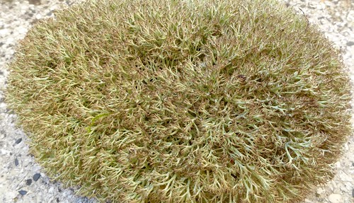 Cladonia arbuscula