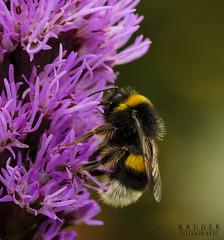 Bee at Work (Krüger Fotografie) Tags: bee biene makro macro work arbeit insekt flügel blume flower close nektar pollen nature natur outdoor nikon sigma d5100 fell fliegen blüte blühen