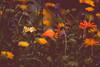 Blumenwiese (Thilo Sengupta) Tags: blumen flowers wildblumen wildflowers wildblumenwiese wildflowermesdows natur nature pflanzen plants nice nicepic picoftheday flowersofflickr orange grün green gelb yellow violet canon canoneos80d tamton tamronlens tamrin70200mm f28 dof depthoffields