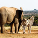Elephant and Zebra standing together