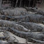 Krokodilfarm - Crocodile farm Cambodia thumbnail