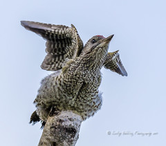Just Testing (pixellesley) Tags: greenwoodpecker bird juvenile fledgling stretching testing flight feathers perched eager birdwatching mammal wild free wildlife comical picusviridis