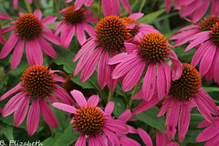 Summer Flowers (Barbara.Elizabeth) Tags: pink flowers wild summer sony longisland