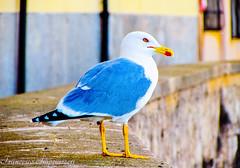 The Seagull (Francesco Impellizzeri) Tags: trapani sicilia seagull nature canon ngc