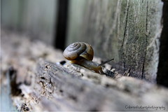 Brown snail (Colors Of Nature Photography) Tags: slimy snail brownsnail