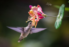Hummingbird at the Honeysuckle (Tami Hrycak ッ) Tags: rubythroatedhummingbird hummingbird bird tamihrycak naturesgiftscaptured nikond4s newjersey wildlife nature photoshop flight flower honeysuckle summer2017 wildnewjersey njnature specanimal specanimalphotooftheday