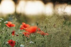 Morning poppies (pszcz9) Tags: polska poland przyroda nature natura kwiat flower rosa dew kropla dewdrop waterdrop bokeh beautifulearth sony a77 roztocze