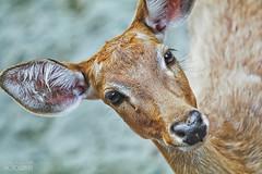 Sika deer (pavel conka) Tags: jelen sika vietnamský cervus nippon pseudaxis deer hươu sao animal animlas eyes eye natur nature wild conka pavel canon 2017 travel vietnam