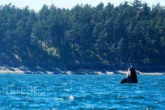 Spyhopping orca (Pui Hang) Tags: biggskillerwhale cetacean colourimage horizontal killerwhale marinemammal orca orcinusorca spyhop toothedwhale whalewatching