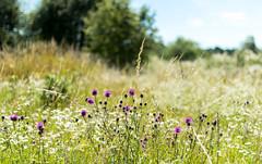 Полевые цветы (klgfinn) Tags: bokeh field flower grass landscape summer tree wildflowers боке дерево лето озерки пейзаж поле полевыецветы трава цветок