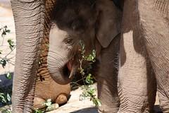 Baby Elephant standing in the shade under mum (jill lamb 53) Tags: babyelephant eating calf animal cute